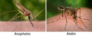 Comparison of the body position of an Anopheles and an Aedes mosquito